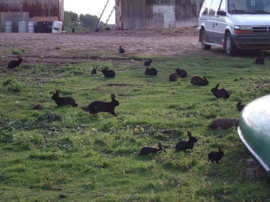 Semi-Domestic_Rabbits_by_Wapus
