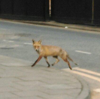 ostara_in_the_form_of_a_fox