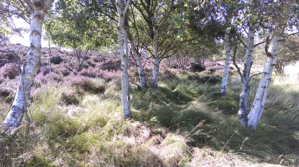 birch_grove_in_heather