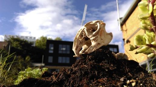 bunny_skull